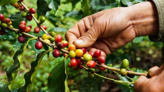 Por que certificar sua produção de café orgânico?